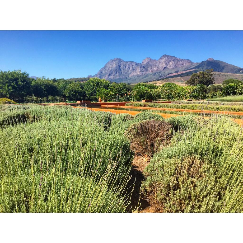 Lavender bushes at Babylonstoren