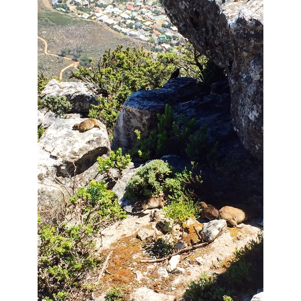 Along the Table Mountain trails, I found TONS of Dassies. Similar to guinea pigs but grow as large as rabbits. Did you know these are the closest relatives to the African Elephant?!?! Unbelievable right?
