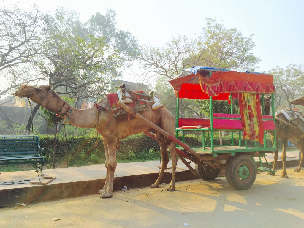 Leaving the Taj, we saw many wild monkeys and non-wild camels.